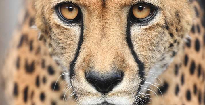 跑的最快的哺乳動物——獵豹面臨瀕危