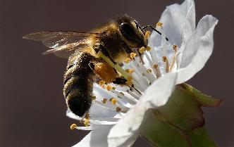 蜜蜂採集花粉