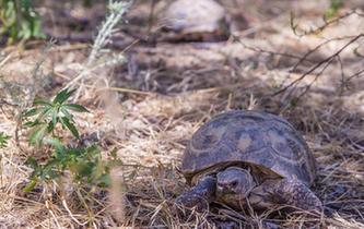 中國保護飼養珍稀瀕危物種四爪陸龜數量增至千只