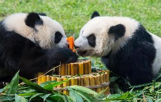 澳門大熊貓雙胞胎喜迎一周歲生日