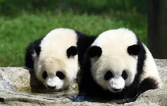 重慶動物園為雙胞胎大熊貓舉辦1歲生日會