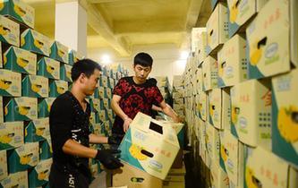 從北京新發地到河北高碑店——香蕉批發戶的發展路線圖