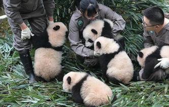 中國大熊貓保護研究中心2017年繁育大熊貓幼仔42只