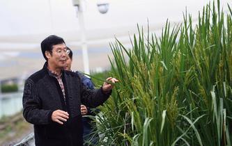 """""""巨型稻""""2.2米高 中科院推出高産水稻新種質"""