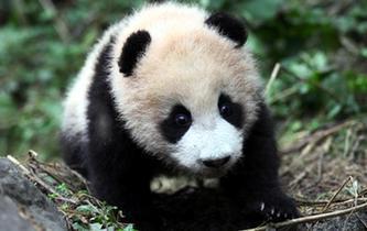"""大熊貓""""八喜""""、""""映雪""""即將回歸大自然"""