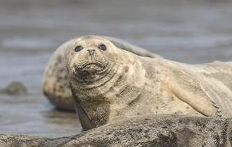 盤錦:斑海豹洄遊棲息