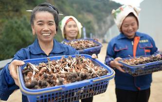 貴州劍河:規模種植食用菌助農增收