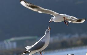 雲南昆明:鷗舞春城