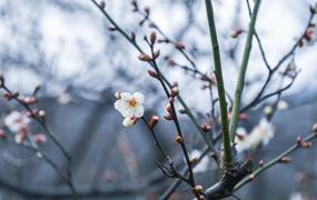 寒梅淩冬次第開