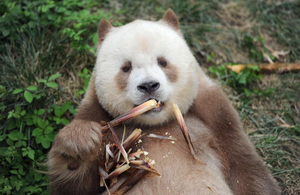 """全球唯一圈養棕色大熊貓""""七仔""""被終身認養"""