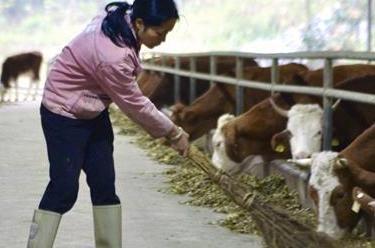 今天我养牛,明天牛养我