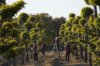 苗木種植助增收