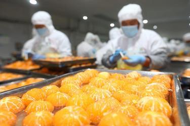 安徽淮北:延伸果蔬加工産業鏈 出口罐頭生産忙