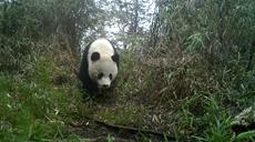 野生大熊貓現身人工水源處