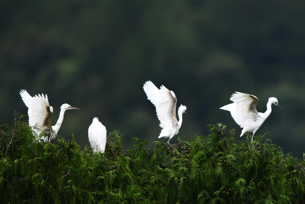 貴州龍裏:鷺舞鄉村生態美