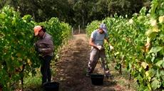 法國:葡萄熟了備佳釀