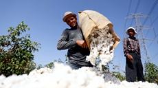 埃及進入棉花採摘季