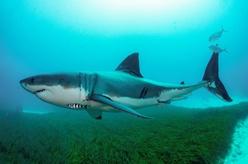 澳報告稱12%在澳鯊魚類物種面臨滅絕風險