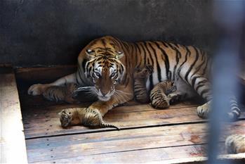 黑龍江海林:一雌性東北虎再生五胞胎寶寶