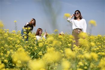 河北安平:油菜花開 樂遊鄉村