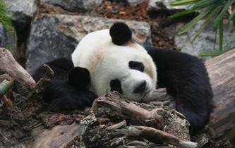 旅加大熊貓一家遷居卡爾加裏後首度公開亮相