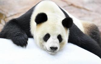大熊貓趴冰消暑