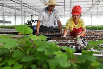 福建將樂:生態産業助脫貧