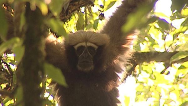 中國科學家首次命名長臂猿科新物種