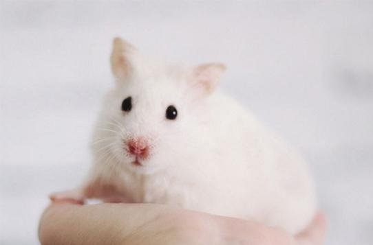 老鼠為什麼消滅不完