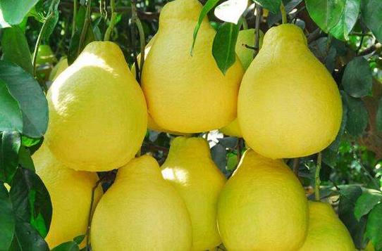 染色、抗癌?關于柚子的四個真相
