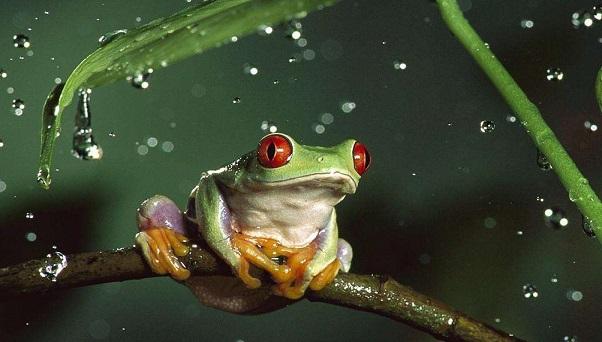 青蛙尾巴再生的新型細胞找到