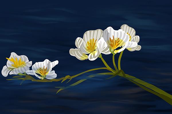 植物中的環境觀測員——海菜花