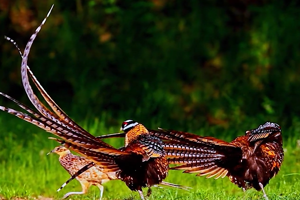 特产濒危雉类基因多样性