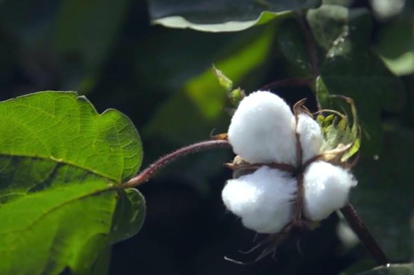 棉花害蟲防治新思路