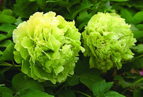为什么自然界中少有绿色的花?
