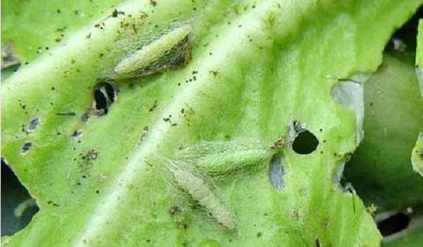 马春森:气候变化导致害虫分布更广 抗药性更强 更难防控