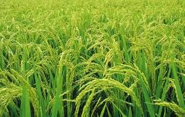 """我國學者發現納米材料抑制""""水稻吸鉛""""機制"""