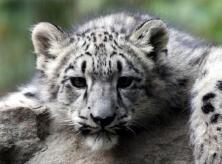 保護雪豹 我學者領銜國際研究是個新開始