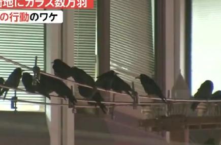 日本熊本遭烏鴉入侵 糞便如雨從天降