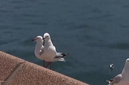 澳大利亞:海鷗太囂張 狗狗來幫忙