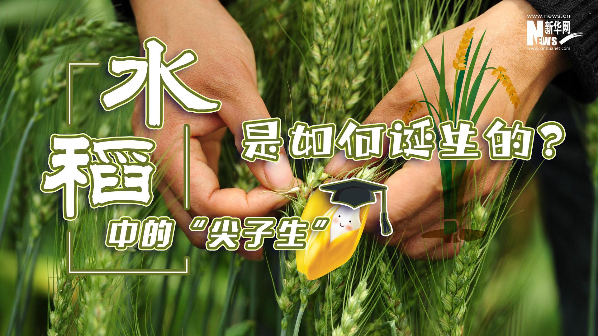 """水稻中的""""尖子生""""是如何誕生的?"""