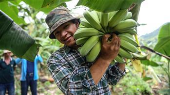 """广西隆林:""""蕉果""""种植助力库区移民脱贫"""