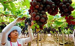 【高清图集】河北卢龙县葡萄栽植盘活山村经济