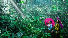 穿越秘境雨林 領略版納風情