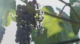 馬鞍山村的山葡萄熟了