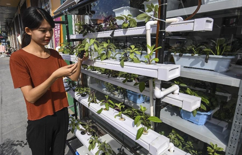 Planting method for hydroponic vegetables seen in N China's Hebei