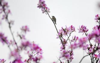廣西柳州:花開滿城香
