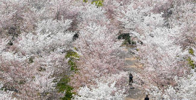 黃河岸邊櫻花綻