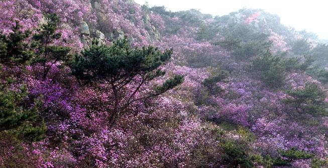 青島大珠山:杜鵑花海漫山綻放