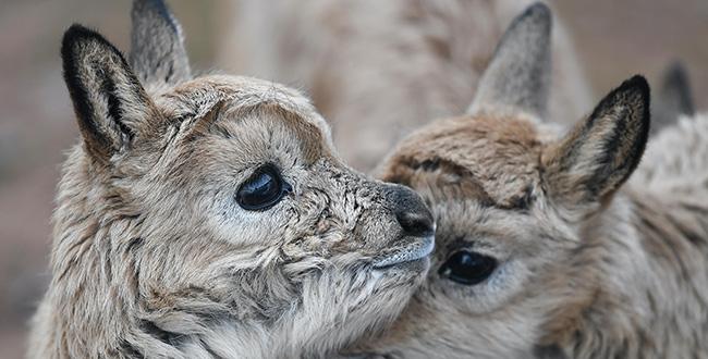 可可西裏11只藏羚羊幼仔得到救助